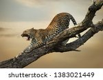 a leopard stretches its legs... | Shutterstock . vector #1383021449