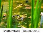 marsh frog  pelophylax...   Shutterstock . vector #1383070013