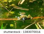 marsh frog  pelophylax...   Shutterstock . vector #1383070016