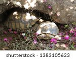 Stock photo african spurred tortoise at burrow entrance big geochelone sulcata in hollow the african spurred 1383105623