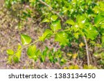 fresh green leaves with the... | Shutterstock . vector #1383134450