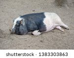 a large black and white pig...   Shutterstock . vector #1383303863
