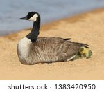 Mother Canada Goose With A Bab...