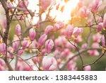 blooming magnolia tree outdoor. ... | Shutterstock . vector #1383445883