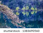 cherry blossoms blooming on the ... | Shutterstock . vector #1383690560