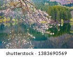 cherry blossoms blooming on the ... | Shutterstock . vector #1383690569
