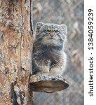 pallas's cat  otocolobus manul .... | Shutterstock . vector #1384059239