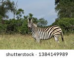 a zebra in a grass savannah in... | Shutterstock . vector #1384149989