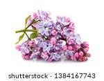 Flower purple lilac  syringa...