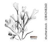 hand drawn rhodymenia palmata... | Shutterstock .eps vector #1384248260