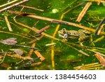 marsh frog  pelophylax...   Shutterstock . vector #1384454603