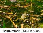 marsh frog  pelophylax...   Shutterstock . vector #1384454606