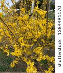 yellow forsythia bush in bloom | Shutterstock . vector #1384491170