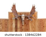 Skull Moose Front View  Hung O...