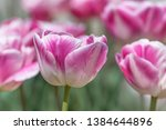 close up of peony tulip flower... | Shutterstock . vector #1384644896