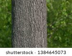 close up of maple tree trunk in ... | Shutterstock . vector #1384645073