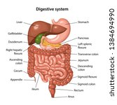 Anatomy Of The Human Digestive...