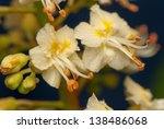 chestnut flower | Shutterstock . vector #138486068