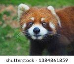 Portrait Red Panda Or Lesser...