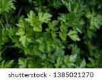 fresh healthy parsley. design... | Shutterstock . vector #1385021270