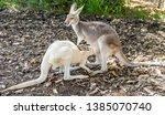 kangaroo puppy drinks milk with ...   Shutterstock . vector #1385070740