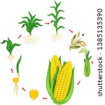 life cycle of corn  maize ... | Shutterstock .eps vector #1385135390
