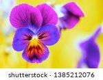 Pansies Viola Close Up. Lilac...
