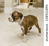 Boxer Puppy In Kitchen