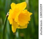 A Single Yellow Daffodil Bloom.
