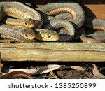 Three Garter Snakes ...