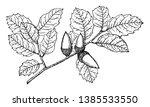 It Is Branch Of Evergreen Oak...