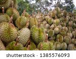 durian division  after the... | Shutterstock . vector #1385576093