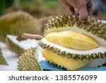 gardeners are casing durian.... | Shutterstock . vector #1385576099