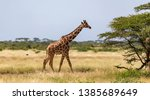 One Giraffe Walk Through The...