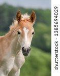 Cute Little Haflinger Horse...