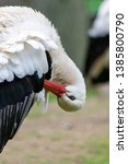 Small photo of Imposant white stork cleaning his feathers headlong