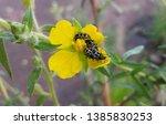 A Yellow Four Petal Primrose...