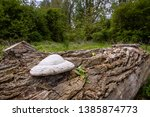 Fungus On An Old Log In The...