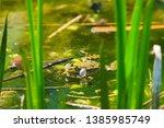 marsh frog  pelophylax...   Shutterstock . vector #1385985749