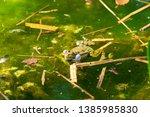 marsh frog  pelophylax...   Shutterstock . vector #1385985830