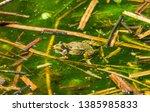 marsh frog  pelophylax...   Shutterstock . vector #1385985833