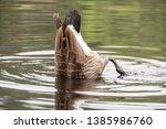 Canada Goose Branta Canadensis...
