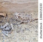Small photo of Horny toad camouflaged - Midland, Texas