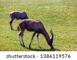 Two Blesboks Grazing In A Field ...
