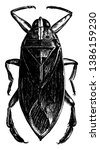 Giant Waterbug is a Belostama Americana insect, vintage line drawing or engraving illustration.