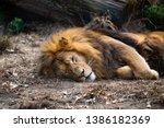 Sleeping Lion With Mane Lying...