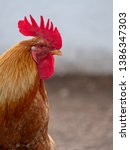 farm yard chicken  photographed ... | Shutterstock . vector #1386347303
