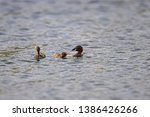 The grebe has just caught a fish in the lake