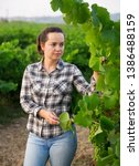 woman proffesional winemaker... | Shutterstock . vector #1386488159