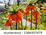 Crown Imperial  Fritillaria...